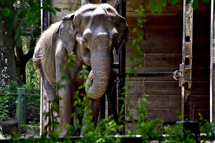 """La Plata / La elefanta """"Pelusa"""" cumple 50 años y evalúan trasladarla a un santuario en Brasil"""