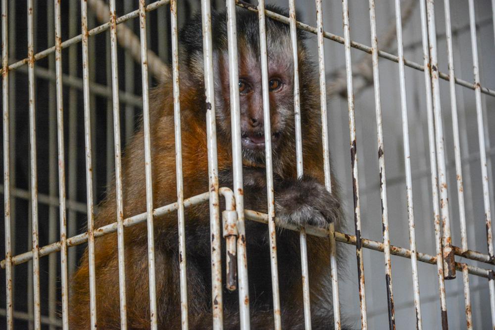 Ituzaingó / Rescatan de una casa, monos, faisanes y tucanes entre otros animales silvestres