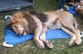 Colón / trasladan animal del Zoo municipal a Estados Unidos