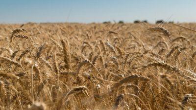 Agroindustria destaca la calidad del trigo bonaerense