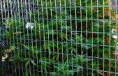 Aprobaron la Ley de Cannabis Medicinal pero sólo el CONICET y el INTA tendrán permiso para cultivar