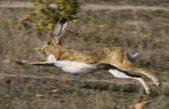 Se habilitó la temporada de caza de liebre