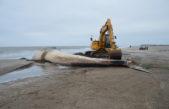 Encuentran una ballena de 16 metros muerta en la costa de San Clemente