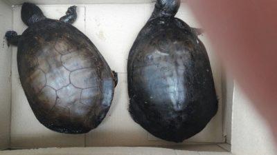 Encontraron dos tortugas empetroladas a metros de la Refinería de YPF en Berisso