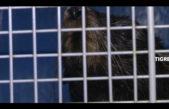 Emotivo rescate a un lobo marino perdido en Tigre