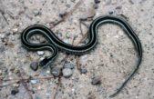 La Costa/ Alerta por posibles apariciones de serpientes luego del temporal