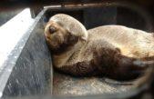 La red de rescate de fauna marina, rescató a dos lobos marinos en el riachuelo y en punta lara