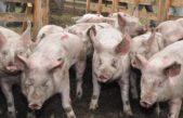 Según datos el ministerio de Agroindustria de la provincia, la actividad porcino creció en relación al año pasado