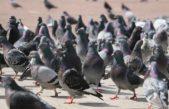 Fastidio en los vecinos de Mercedes por la superpoblación de aves que azotan la ciudad