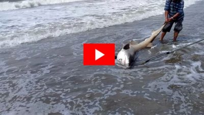 VIDEO / Un guardavidas de Mar Chiquita salvó a un tiburón en peligro de extinción