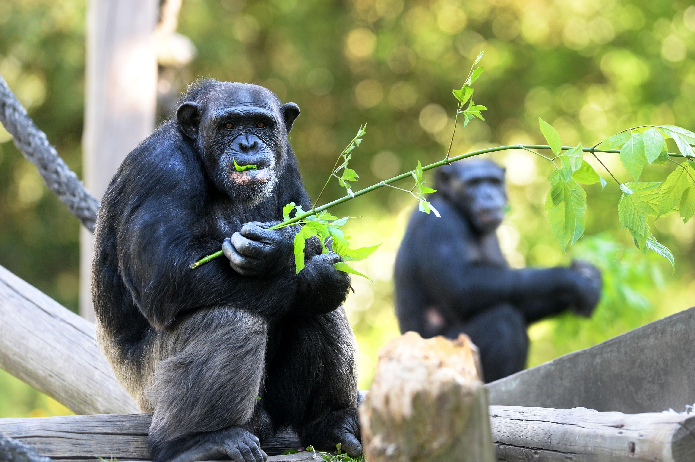 La Plata / Trasladaron a Brasil a la familia Chimpancé que vivía en el Zoológico platense