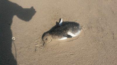 Aparecieron más de 60 pingüinos muertos en las playas de Claromecó