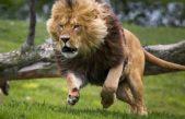 Pánico en Berazategui por la aparición de un león en la zona