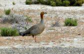 Llegaron a la Provincia los primeros cauquenes colorados, un ave migratoria en peligro de extinción