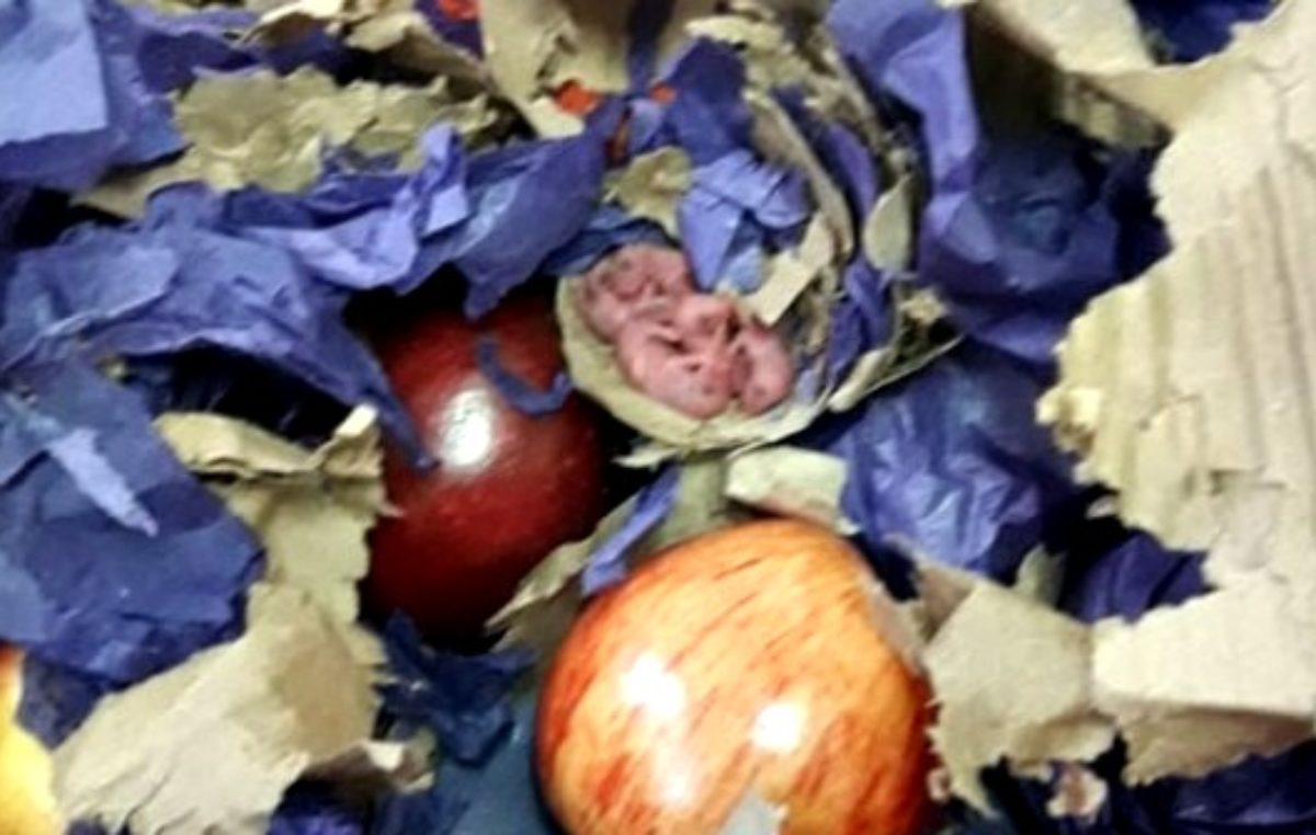 Un comedor escolar de Lanús recibió un cajón de manzanas con un nido de ratas