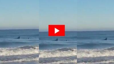 VIDEO / Un pescador filmó a tres orcas cazando a metros de la orilla en Necochea