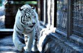 En el Zoológico de La Plata falleció una tigresa blanca