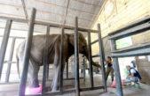 """La Plata / Llegó el especialista de Brasil Scott Blais  y sobre la salud de Pelusa expresó """"todo indica que la elefante está en la etapa final de su vida"""""""