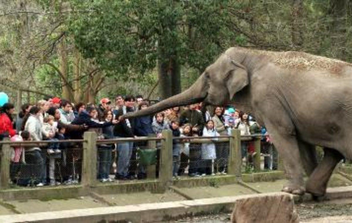Falleció Pelusa, la elefanta del zoológico de La Plata