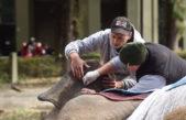 """La Plata / El estado de salud de la elefanta Pelusa """"es estable"""""""