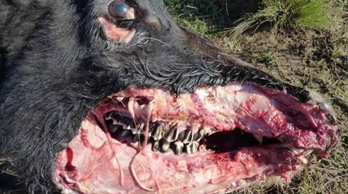 ¿Volvió el Chupacabras? Misterio por casos de vacas mutiladas en Bordenave