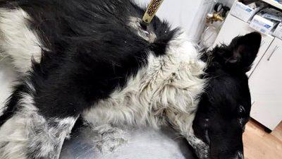 Bahía Blanca / En el Día del Amigo apuñalaron a un perro en el cuello