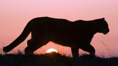 Un puma le mató más de 60 corderos a un productor de Coronel Pringles