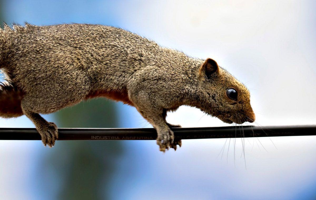 Alerta en la Provincia por la proliferación ardillas: se comen los cables, árboles y frutales