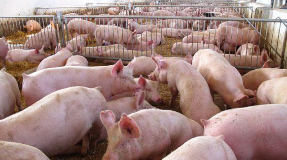 En plena endemia de triquinosis: Detectan en Carlos Casares un establecimiento de producción porcina con ratas muertas