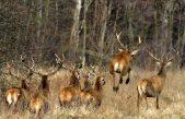 VIDEO / Alertan que una manada de ciervos huye sin control de cazadores furtivos en Luján