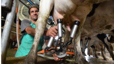 """Se movilizan los tamberos: """"Están matando vacas lecheras para venderlas como carne picada a China"""""""