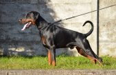 """Prohibirán cortar colas, orejas y demás """"mutilaciones"""" a las mascotas: """"Los animales domésticos no son un objeto"""""""