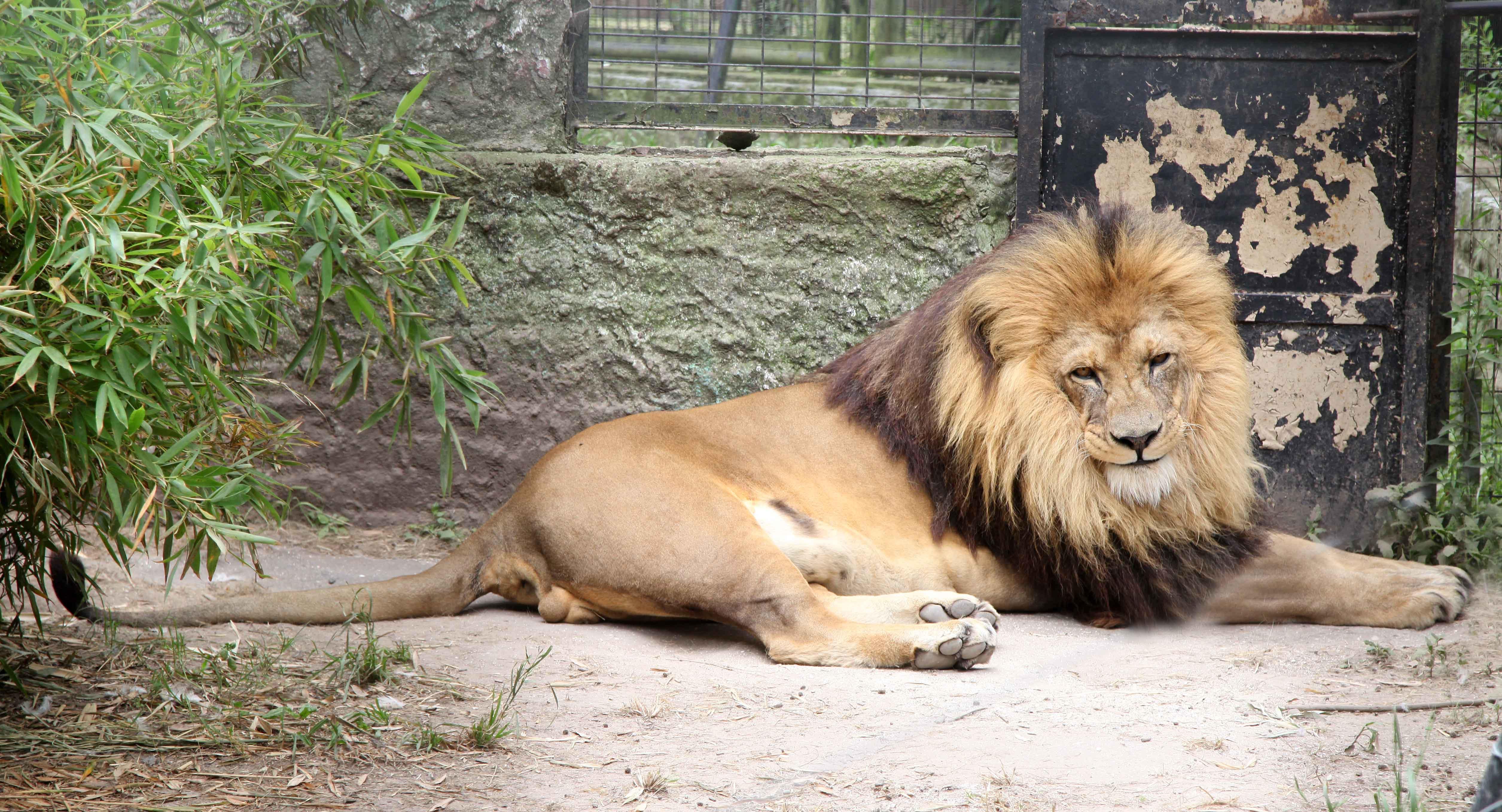 Los Leones del zoo de La Plata serán trasladados al santuario de Minnesota en Estados Unidos