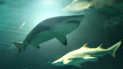 """Pesca de tiburones: científicos marplatenses advierten que hay un riesgo de extinción """"extremadamente alto"""""""