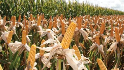 Investigación: Estudian como diseñar semillas de maíz multiterrestres