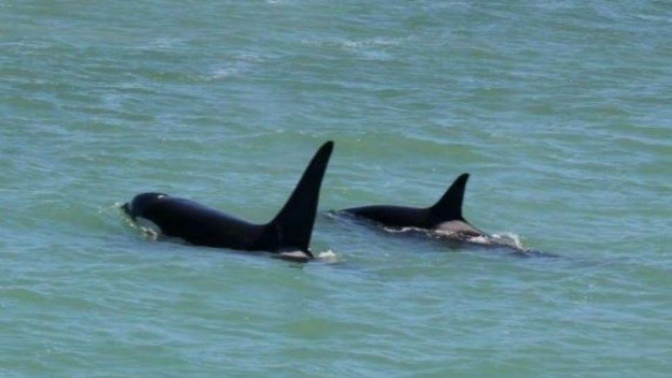 VIDEO / Tres orcas sorprendieron a los turistas en una playa de Mar del Plata