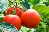"""Se viene la 15° """"Fiesta del Tomate Platense"""""""