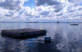 El CONICET impulsa la cría del pejerrey en jaulas flotantes para repoblar las lagunas bonaerenses