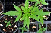 Según una encuesta, el 98% de los bonaerenses está de acuerdo con legalizar el autocultivo de cannabis