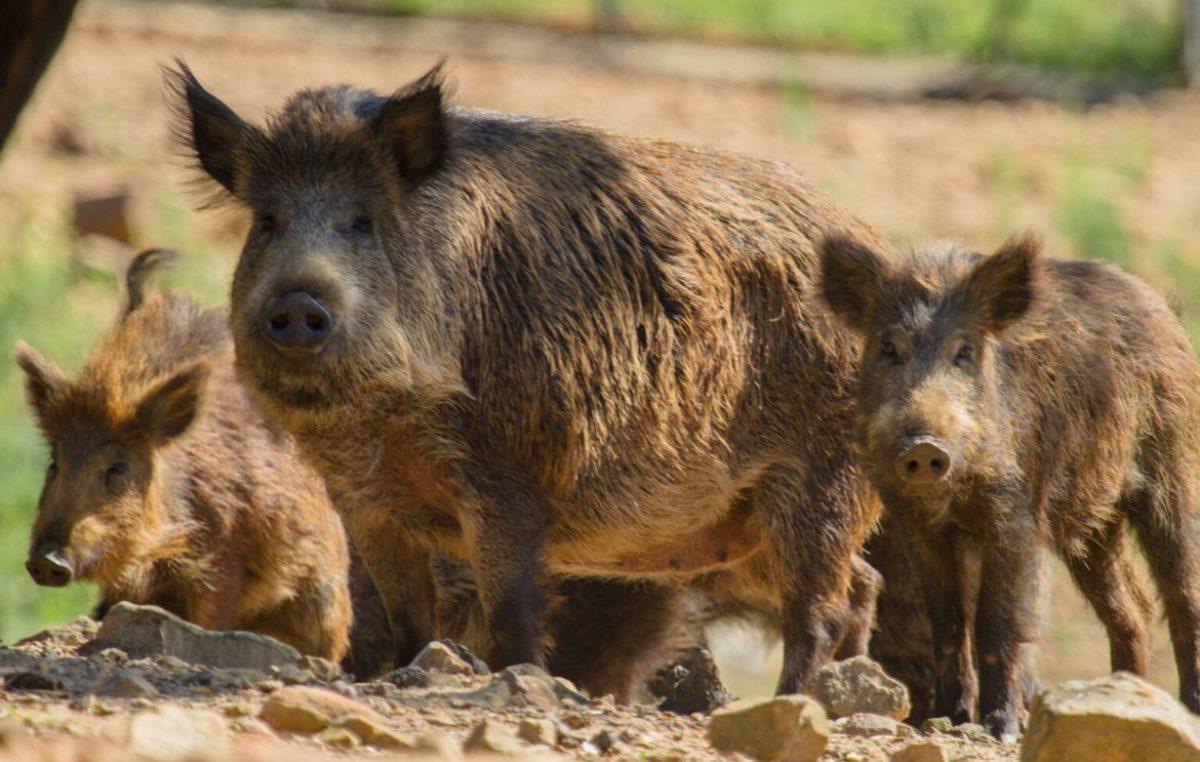 La Provincia fomenta la caza del chancho cimarrón para proteger al venado de las pampas