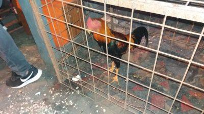 En Varela cayó la policía en medio de una riña de gallos y detuvo a 47 personas