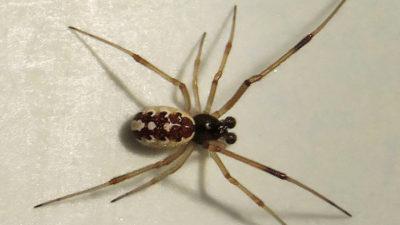 """Descubren que el macho de las """"arañas viudas"""" también pica a los humanos"""