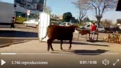 Impresionante: un toro de 500 kilos se escapó del matadero y embistió contra los vecinos