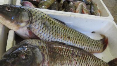 Exportan carpas pescadas en Trenque Lauquen a Irán, Irak y Sudáfrica