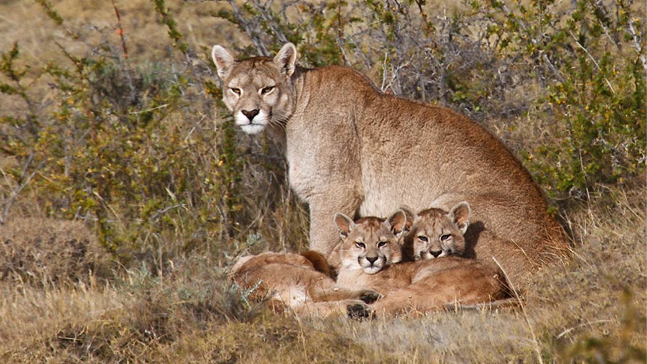 Advierten que se duplicaron las apariciones de pumas en territorio bonaerense