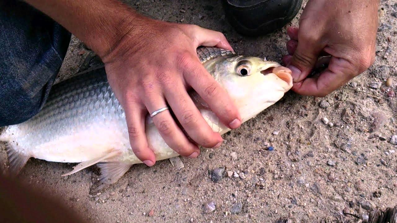 Después de casi 20 años, Provincia habilitó la pesca de sábalos en el Río de la Plata