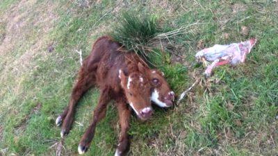 Nació una ternera con dos cabezas en el sur de la provincia de Buenos Aires ¡mirá el video!
