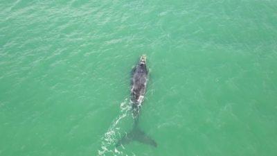 Ballenas pasaron por las costas de Necochea y Mar del Plata en su viaje hacia el sur