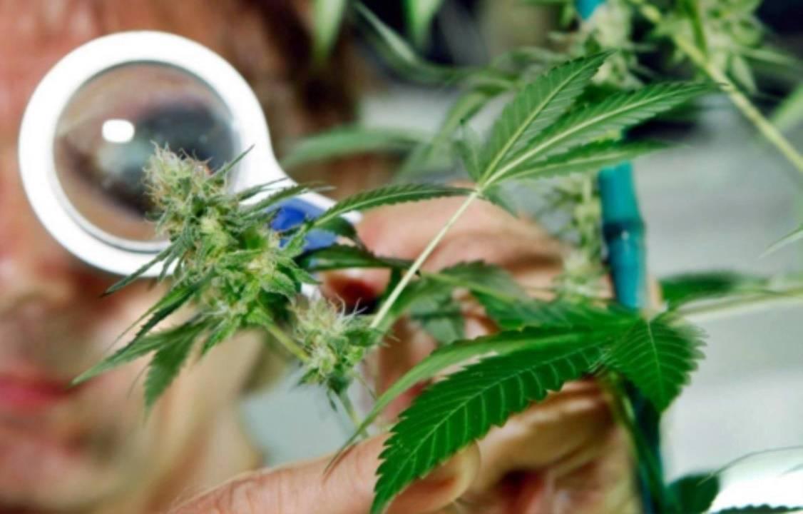 En un fallo inédito, la justicia de Mar del Plata ordenó entregar marihuana incautada a la Universidad