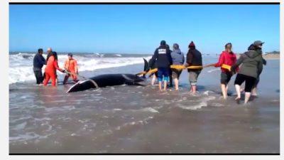 Mar de Cobo: Salvaron a 6 orcas y una murió